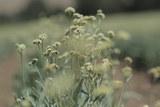 倍耐力率先使用植物银胶菊的天然橡胶